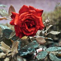 Even roses cry by Kami-no-kuroi-namida
