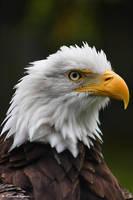 eagle 2 by purple007