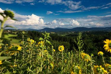 Sunflowers by joannacora