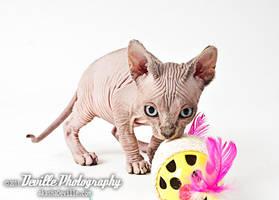 Sphynx kitten by DevillePhotography