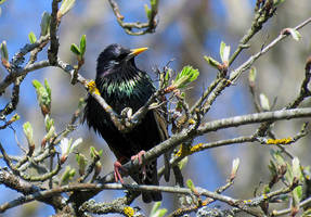 European Starling by Foks-IB