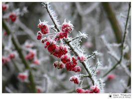 Rowan Berries by theuni
