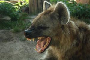 .:Yawn with hyenas II:. by DarkTaraArts