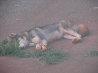 Sleeping Huskey by Kiba-rules