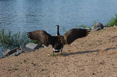 Canada goose by QuarkQueen