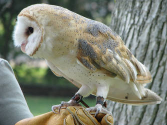 Barn owl 6 by CRStock