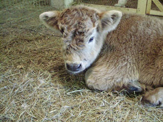Highland Calf by maggieismyname