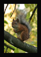 Squirrel by jilvonen