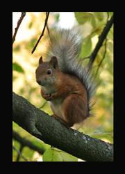 Squirrel by jilvonen
