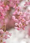 Cerisier by AdrianaFilip
