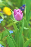 Tulipe by AdrianaFilip