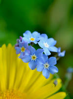 Forget Me Not by AdrianaFilip
