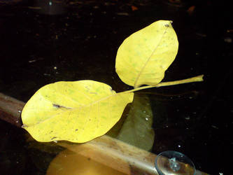 frunze galbene by cravspuma