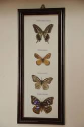 Butterfly ~ 5-52 by Erisember