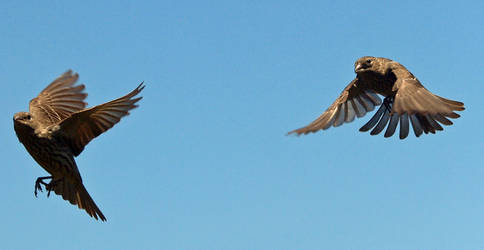 Two House Finches Flying by photographyflower