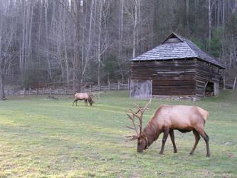 Cataloocheean Elk by caiphana