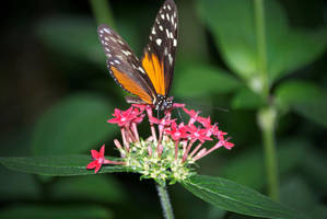 Black-and-orange butterfly by chalkwebdesign