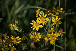 DogWalking - Yellow flowers 2 by chalkwebdesign