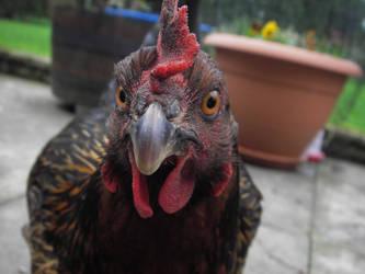 Star my chicken, closeup by Dancinglemur