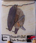 Brandt's Bat - Animal of December 15 by MoonyMina