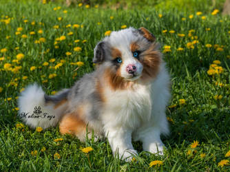 Poseable toy commission Australian Shepherd by MalinaToys
