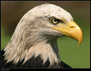 Eagle profile by Dickie67
