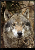 Wolf by Dickie67
