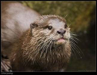 Posing otter by Dickie67