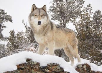 Dakota Snow by Kamiathewolf