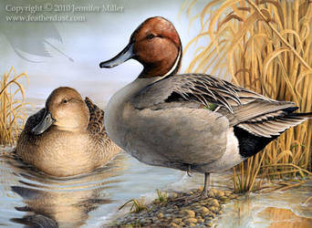 Chilly Sunrise - Pintails by Nambroth