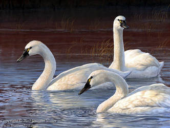 Evening Elegance - Tundra Swans by Nambroth