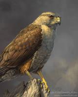Ridgway's Hawk by Nambroth