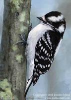 Female Downy Woodpecker by Nambroth