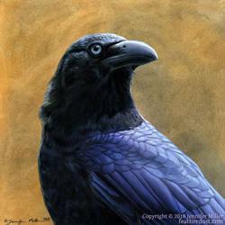 Banggai Crow by Nambroth