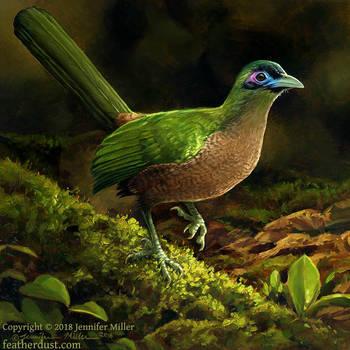 Sumatran Ground Cuckoo by Nambroth