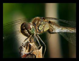 macro - dragonfly by rdd