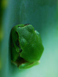 macro - the frog by rdd