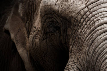 Elephant by LifeCapturedPhoto