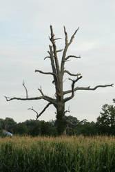 Old dead tree by Callalilybeauty