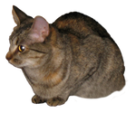Tortoise Shell Tabby Cat Clear Cut by TheStockWarehouse