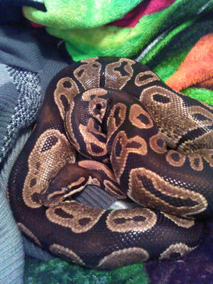 Cinnamonroll Snake by RetroRodent