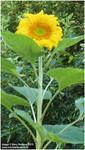Sunflower by zorichan
