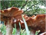 Wood Fungus 023 by zorichan