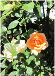 Orange rose by zorichan