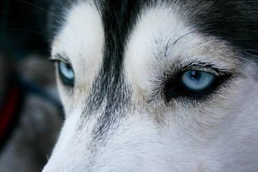 Husky ii by elkina