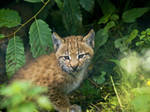 Lynx Baby2 by miezbiez