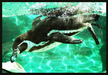 penguin2 under the water by miezbiez