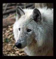 wolf portrait by miezbiez