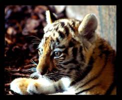 tiger portrait 3 by miezbiez
