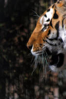 Tiger head by 5p34k